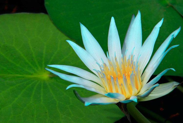 ICAN Flower